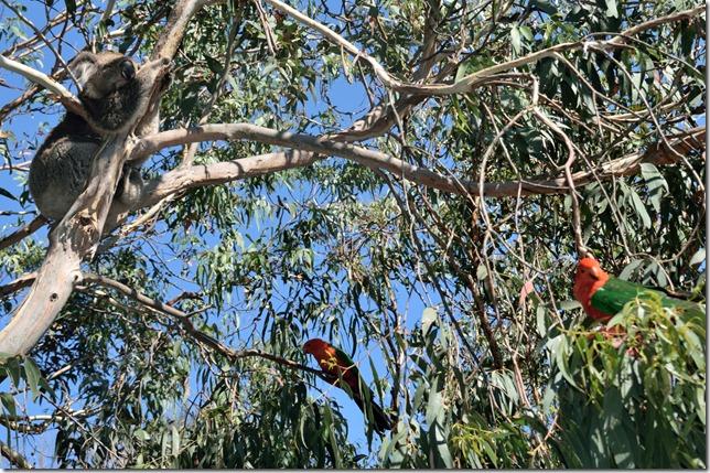 Koala and Parrots